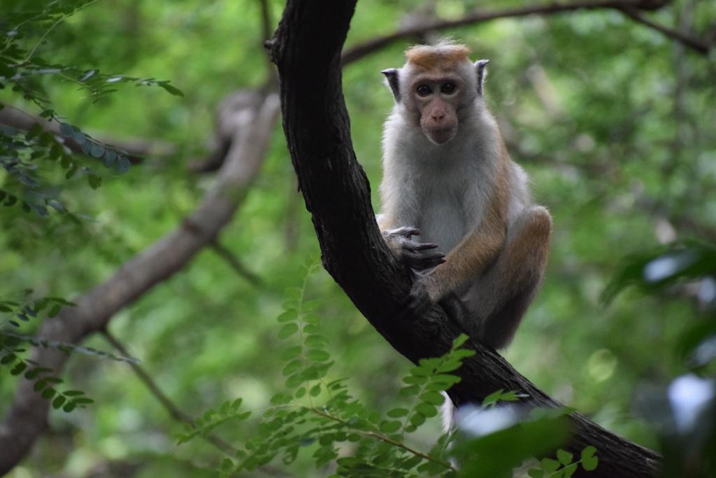 Köyün dört bir yanını kuşatmış maymun çetesinden sadece bir tanesi
